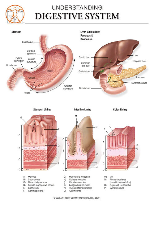 Digestive System - Anatomical Wall Chart