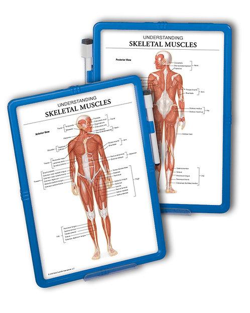 Understanding Skeletal Muscles - Wipe-off Easel