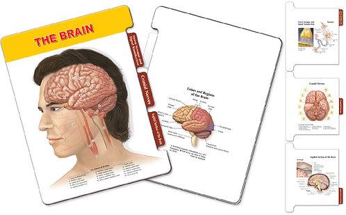 The Brain Anatomy - Slider Board