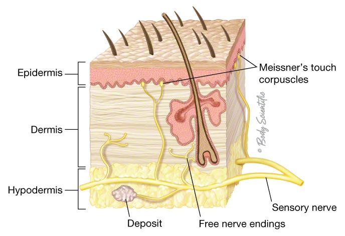 Sensory Nerves of the Skin