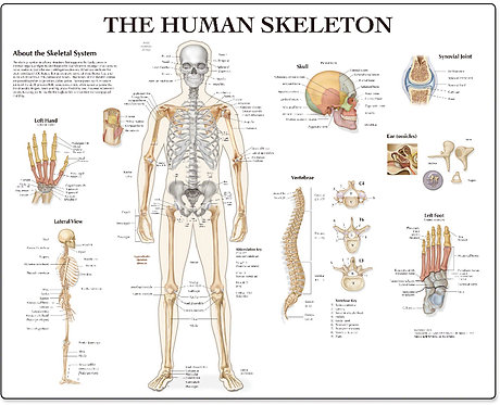 The Human Skeleton - Desktop Mat