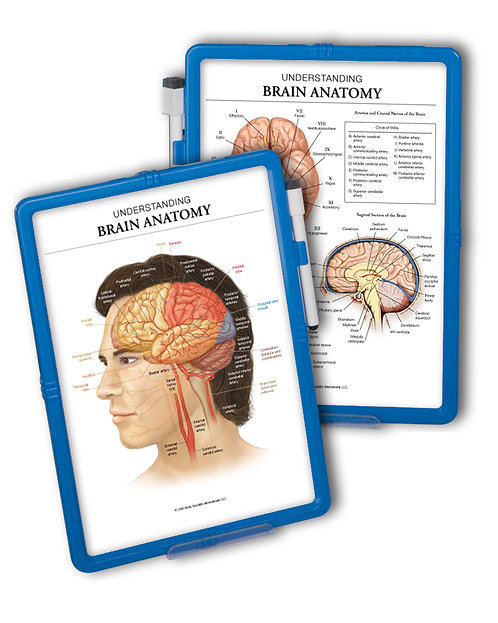 Brain Anatomy - Wipe-off Easel