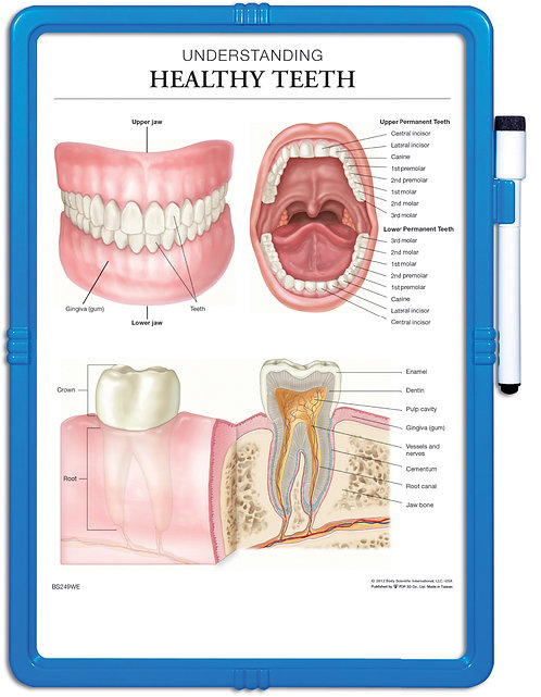 Understanding Healthy Teeth - Wipe-off Easel