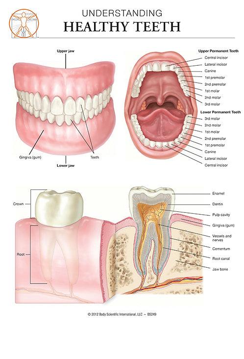 Healthy Teeth - Anatomical Wall Chart
