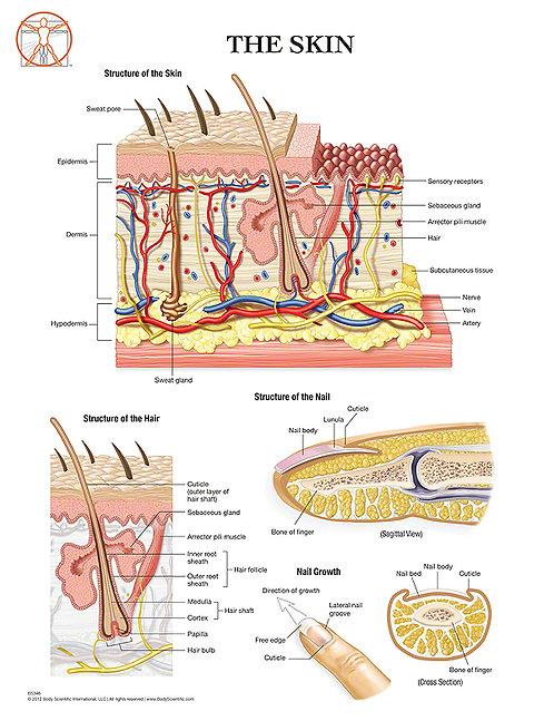 The Skin - Anatomical Wall Chart