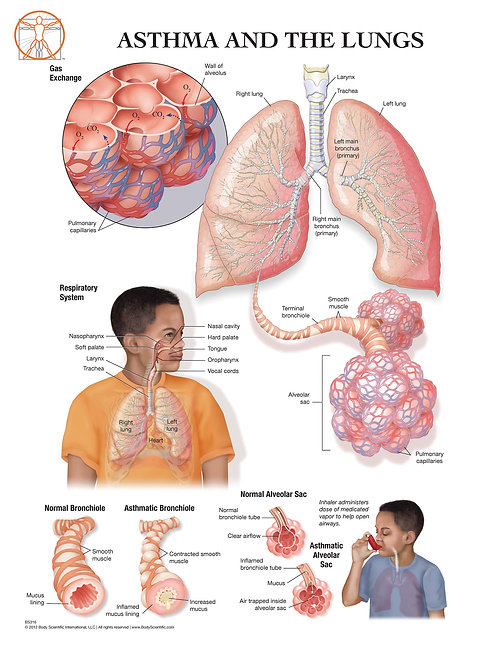 The Lungs and Asthma - Anatomical Wall Chart