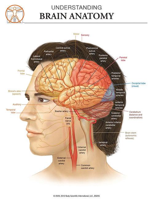 The Brain - Anatomical Wall Chart