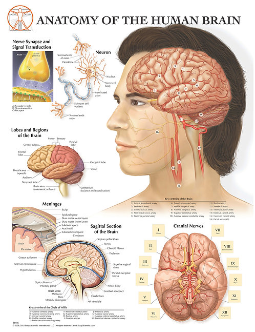 Anatomy of the Brain - Anatomical Wall Chart