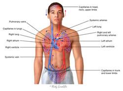 Systemic & Pulmonary Circulation