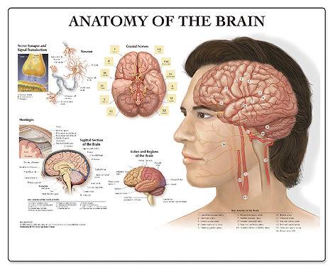 Anatomy of the Brain - Desktop Mat