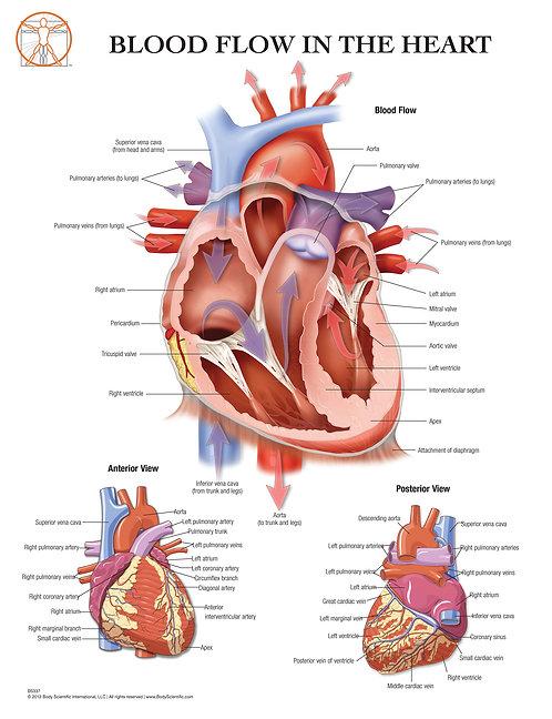 The Human Heart - Anatomical Wall Chart