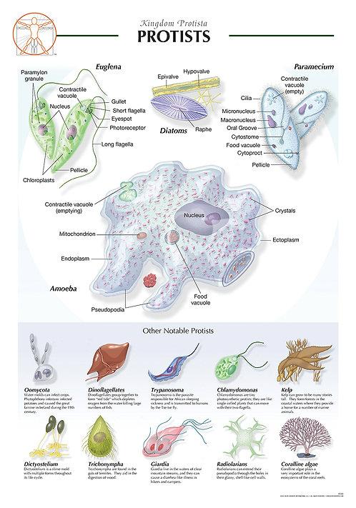 Protists - Biological Wall Chart
