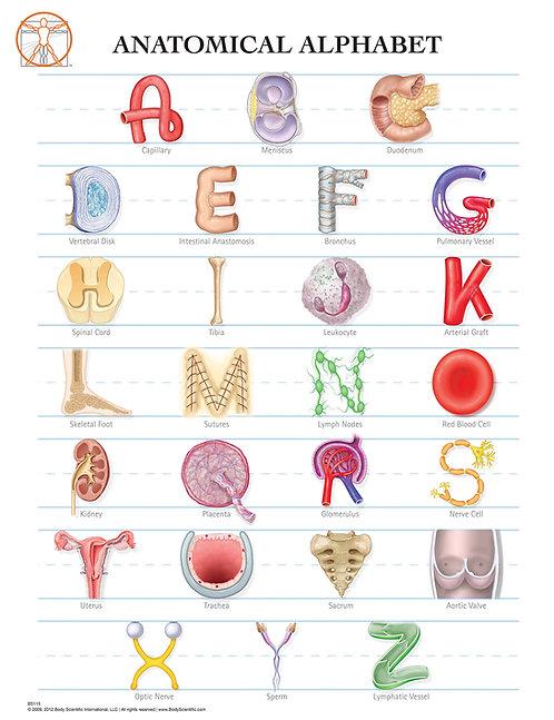 Anatomy Alphabet - Anatomical Wall Chart