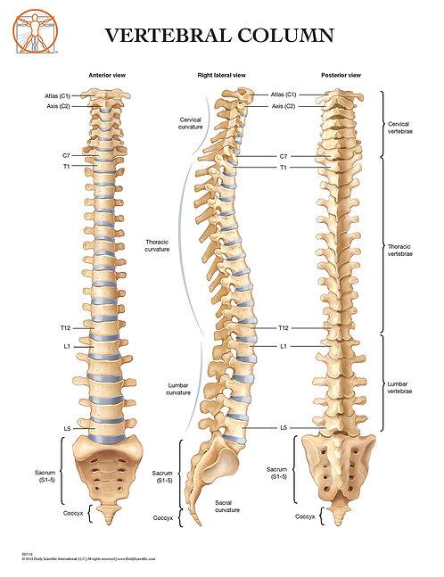 Vertebral Column - Anatomical Wall Chart