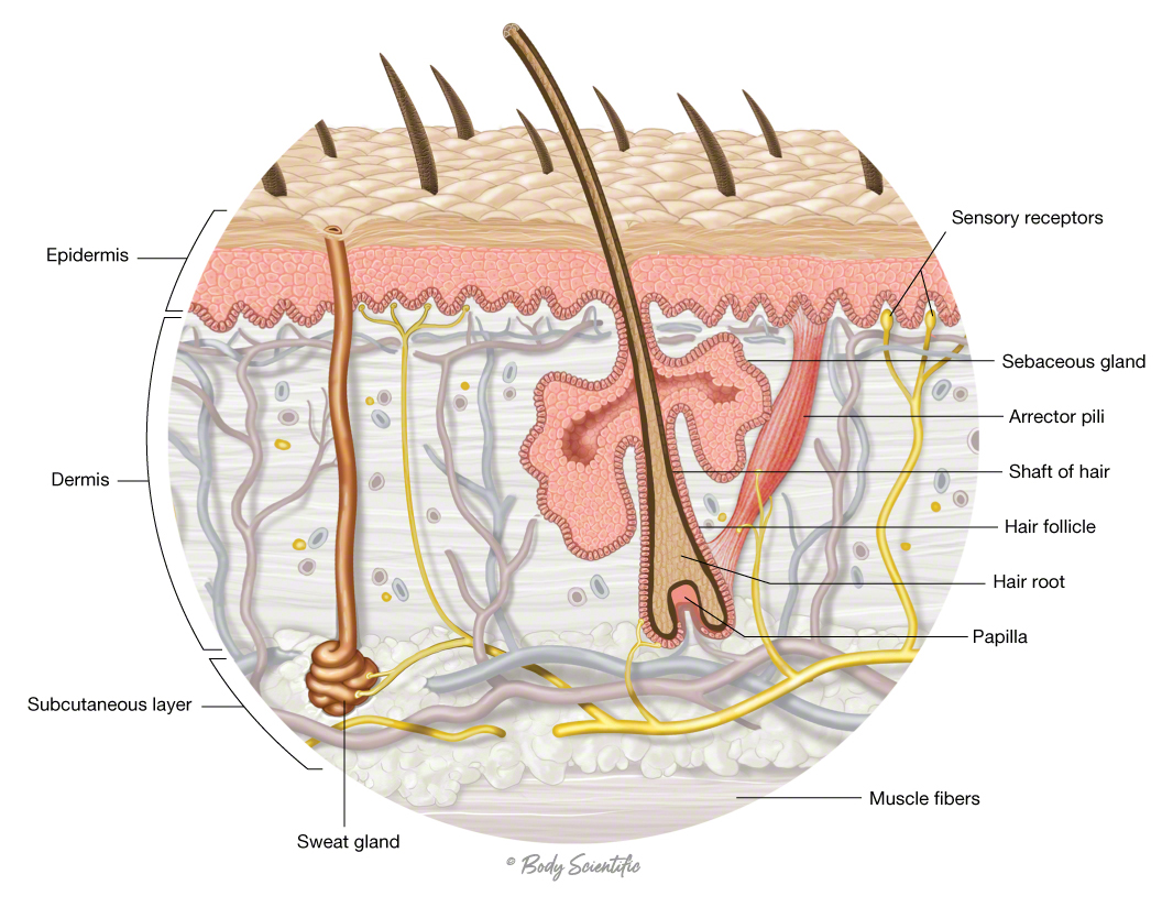 Hair Follicle and Sweat Gland