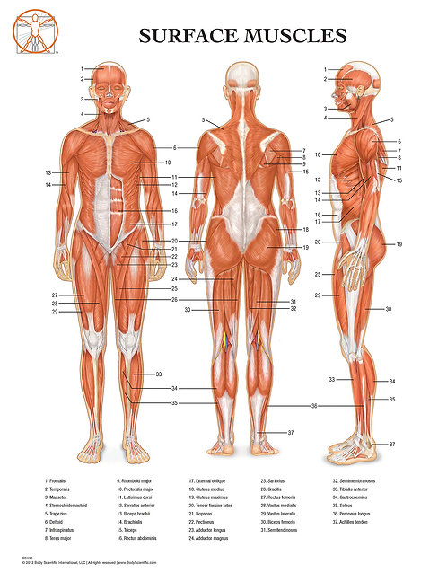 Surface Muscles - Anatomical Wall Chart