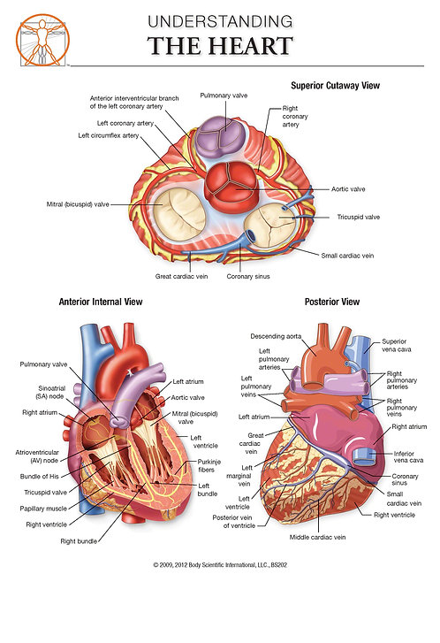 The Heart - Anatomical Wall Chart