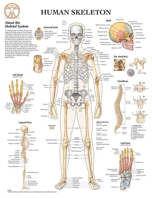 Human Skeleton - Anatomical Wall Chart