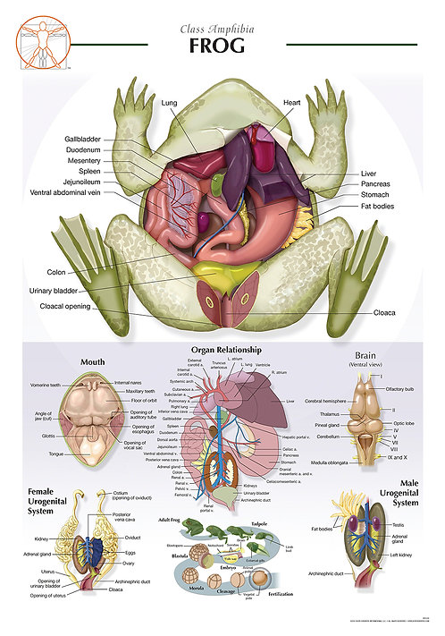 Frog - Biological Wall Chart