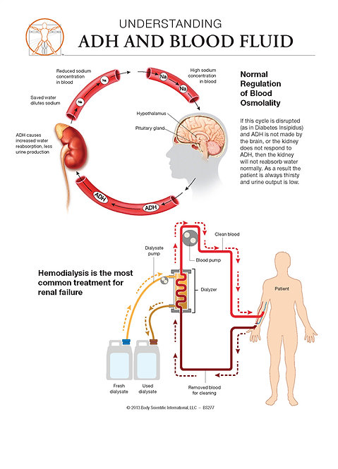 ADH and Blood Fluid - Anatomical Wall Chart