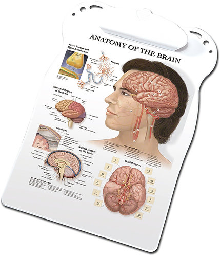 Anatomy of the Brain - Clipboard
