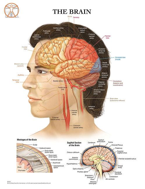 Anatomy of the Brain - Anatomical Wall Chart