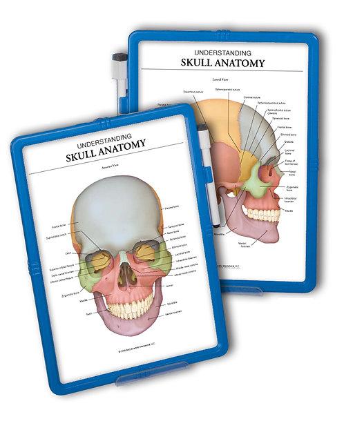 Skull Anatomy - Wipe-off Easel