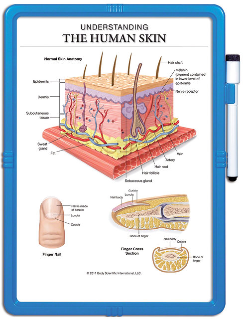The Human Skin - Wipe-off Easel