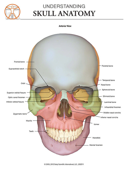Skull Anatomy - Anatomical Wall Chart