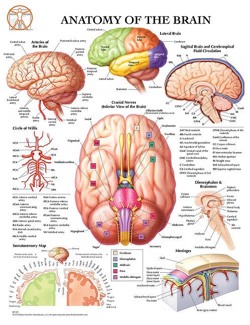 Brain Anatomy - Anatomical Wall Chart
