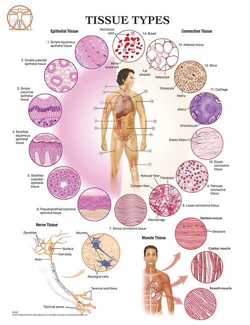 Tissue Types of the Body - Anatomical Wall Chart
