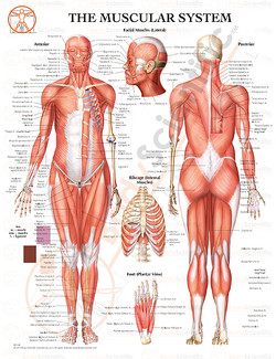 10-BS195 - THE MUSCULAR SYSTEM