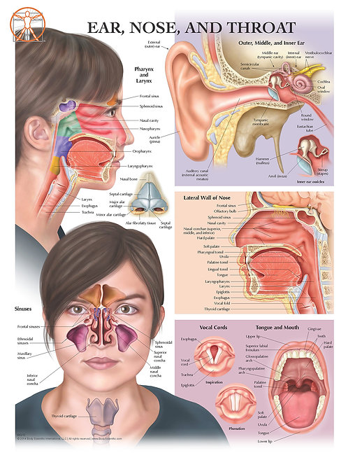 Ear, Nose and Throat - Anatomical Wall Chart
