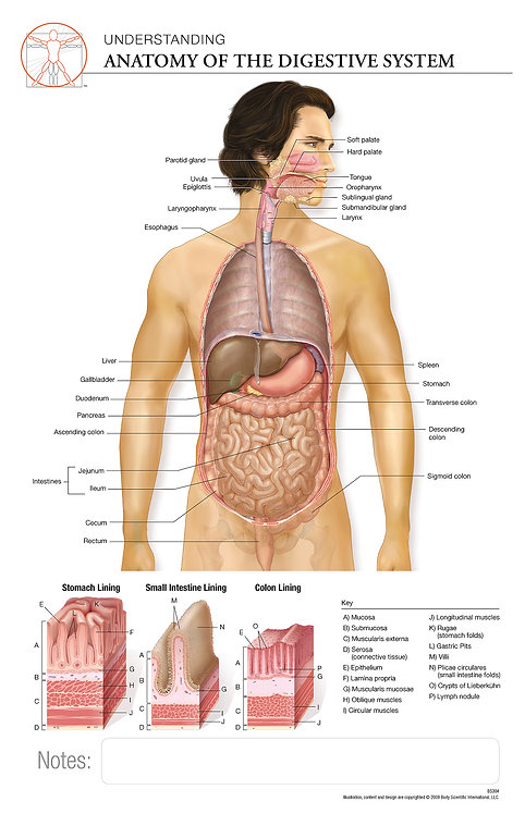 Anatomy of the Digestive System - Anatomical Wall Chart