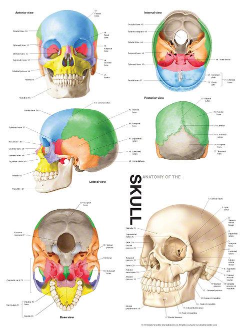 Skull Anatomy - Anatomical Wall Chart