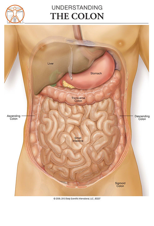 The Colon - Anatomical Wall Chart