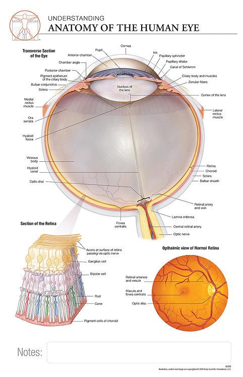 Anatomy of the Eye - Anatomical Wall Chart