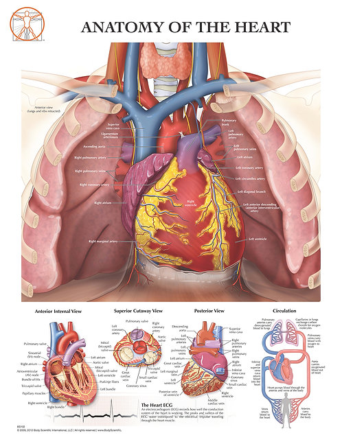Anatomy of the Heart - Anatomical Wall Chart