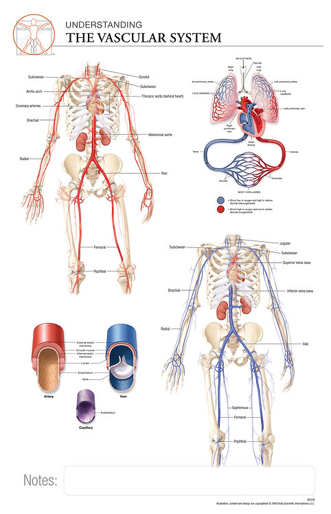 Vascular System - Anatomical Wall Chart