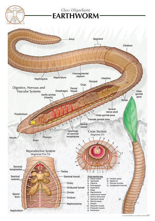 Earthworm - Biological Wall Chart