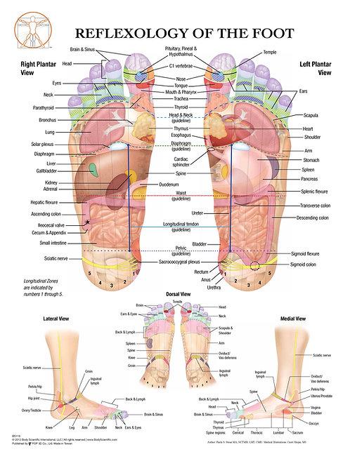Foot Reflexology - Anatomical Wall Chart