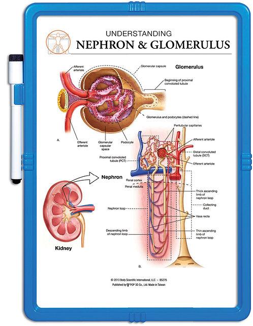 Understanding Nephron & Glomerulus - Wipe-off Easel