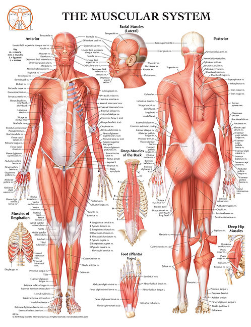 Muscular System - Anatomical Wall Chart