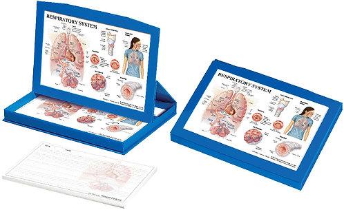 Respiratory System - Display Box