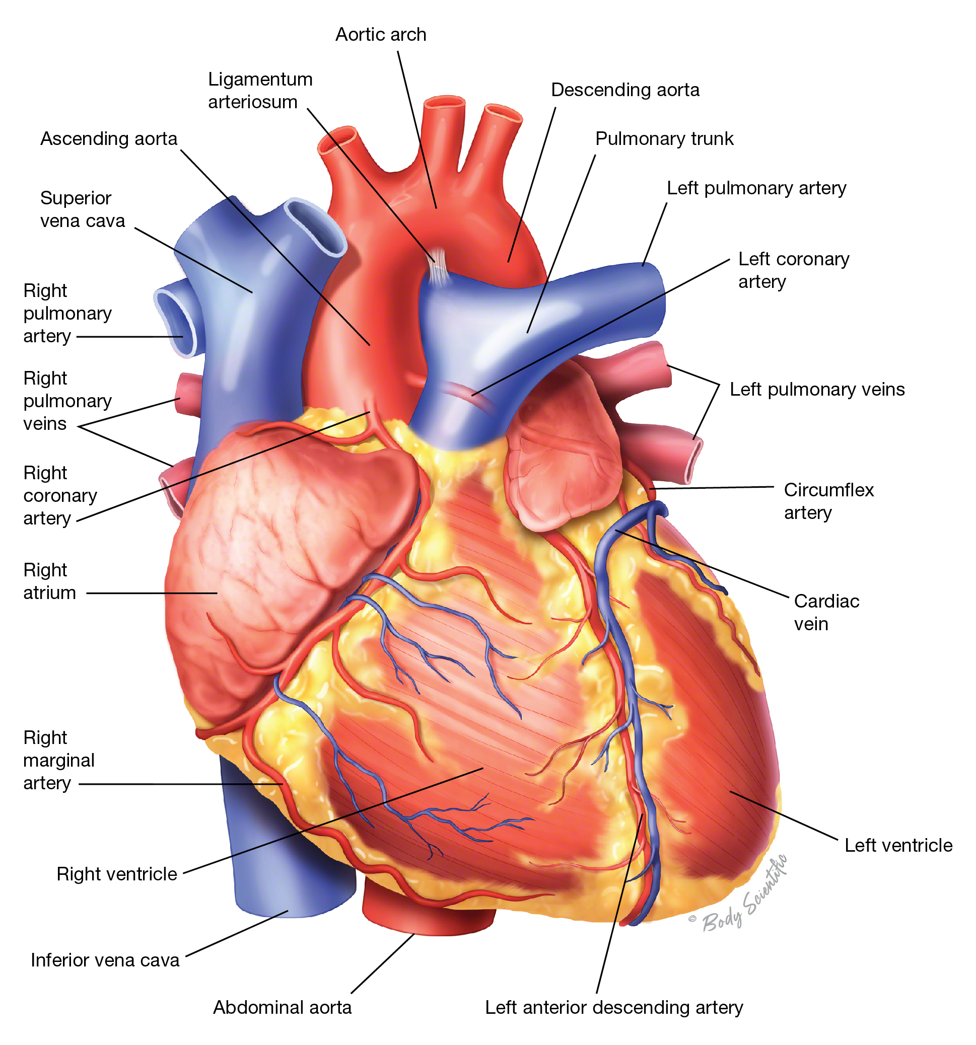 Heart (Anterior View)