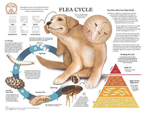 Flea Cycle - Veterinary Wall Chart