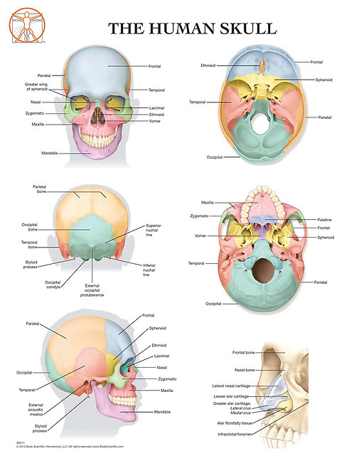 Human Skull Anatomy - Anatomical Wall Chart