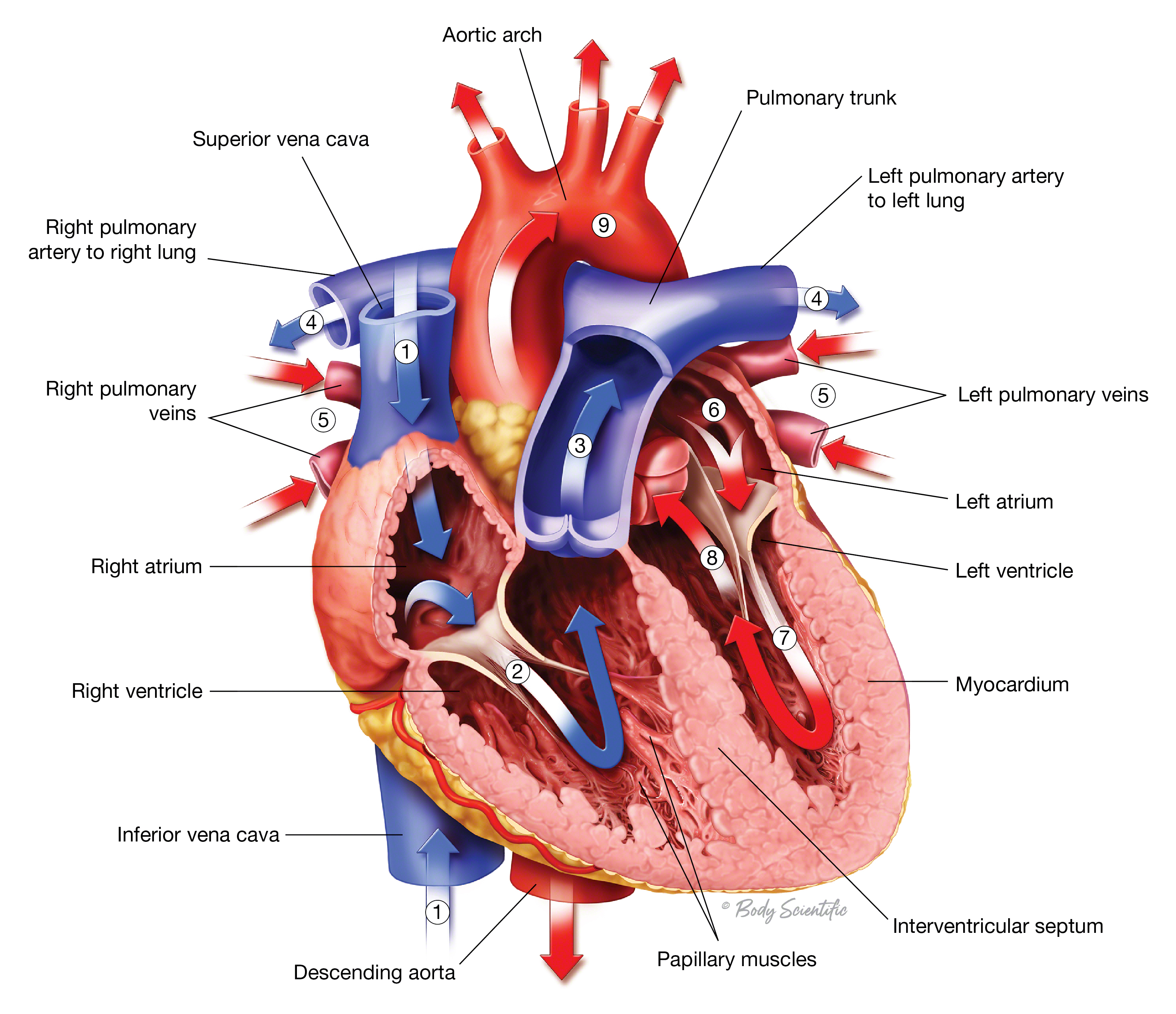 Blood Flow in the Heart