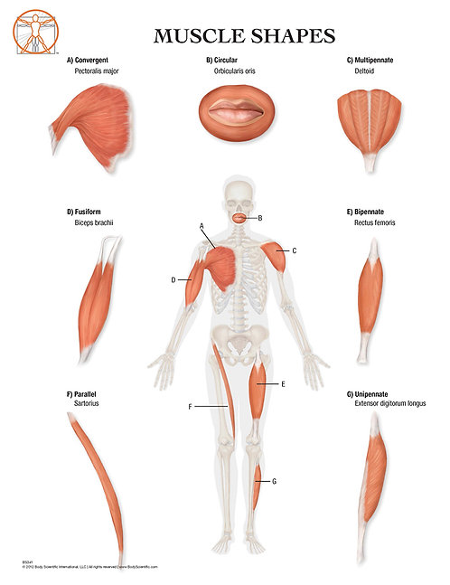Types of Muscles - Anatomical Wall Chart