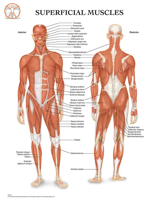 Anatomy of the Muscular System - Anatomical Wall Chart